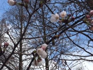 うつぼ公園の桜(2017/4/1)