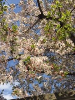 御霊神社(西側)の桜(2017/4/13)