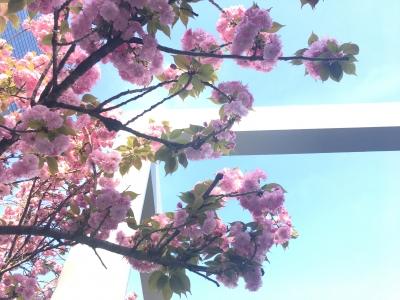 梅田クリスタルホール前の八重桜(2017/4/16)