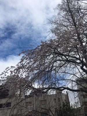 靭公園の桜(2018/3/22)