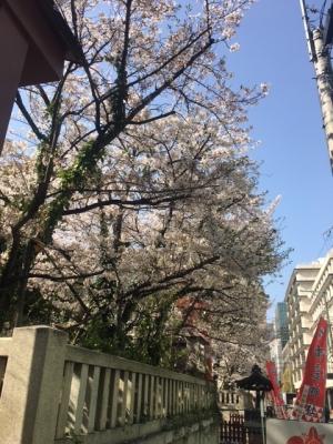 御霊神社の桜(201/3/31)