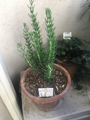 ローズマリーの苗木