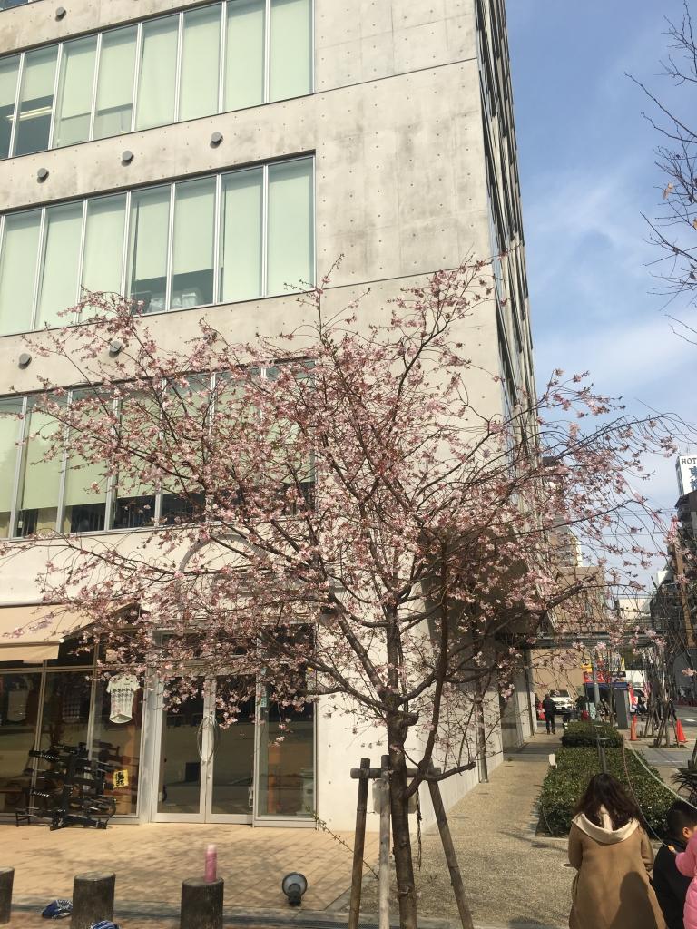 勘違い桜@大阪(2019/3/27)