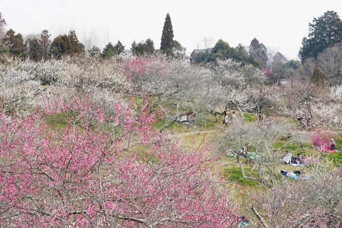 奈良県 梅 公園 月ヶ瀬