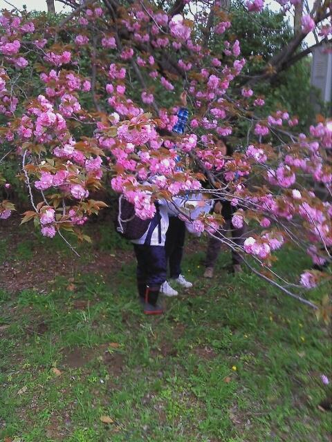 八重桜の砂糖漬け