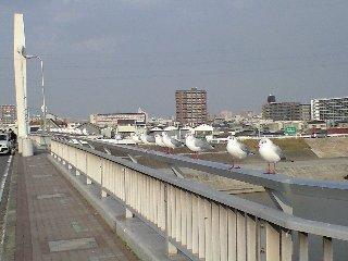 大和橋の欄干で佇む鴎