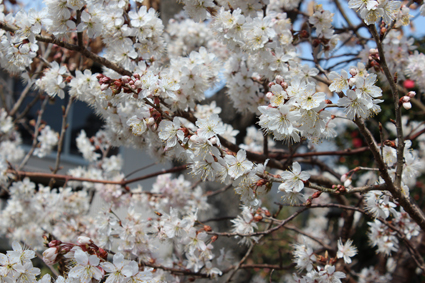 満開のさくらんぼの花
