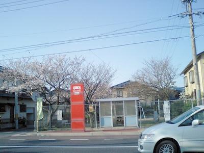 サクラ満開バス停