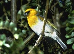 Palila bird