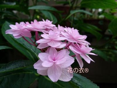 ブログ 花_190806_0009.jpg