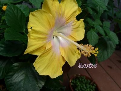 ブログ 花_190806_0010.jpg