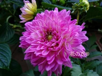 ブログ 花_190806_0013.jpg