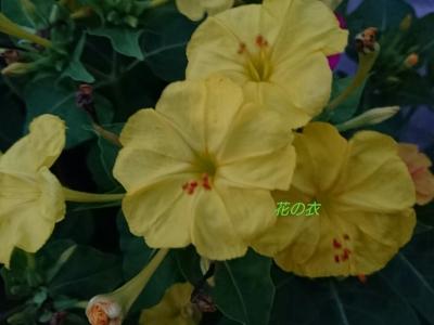 ブログ 花_190806_0014.jpg