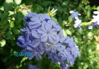 ブログ 花_190806_0015.jpg