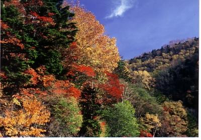 しらびそ高原の紅葉1