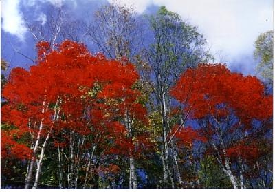 しらびそ高原の紅葉3