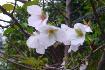 秋に咲く桜!?