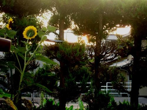 朝焼け向日葵