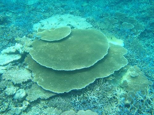 でかい珊瑚