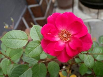 野の花鍼灸院のバラ2015