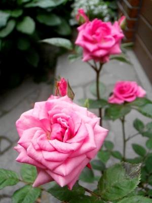 野の花鍼灸院のバラ