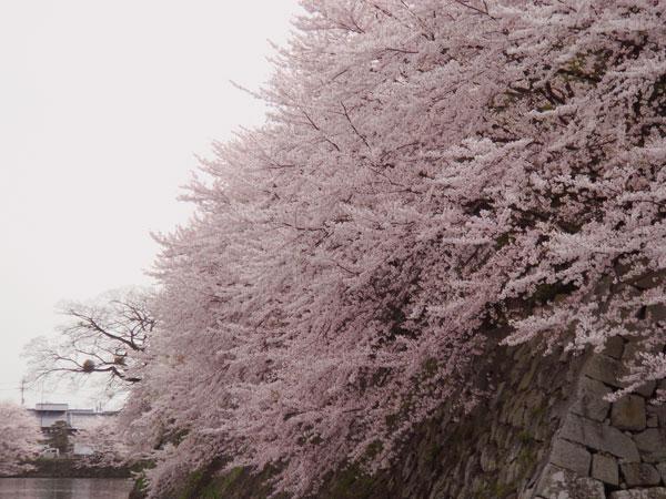 彦根城の桜は見納めでいsた。