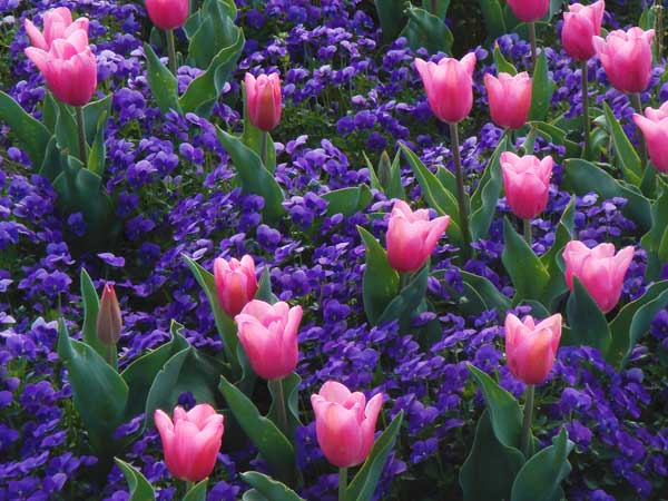 なばなの里は花盛りです。