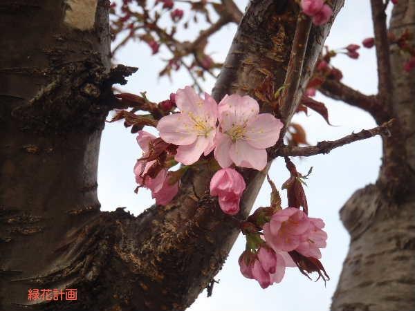 サクラ開花1