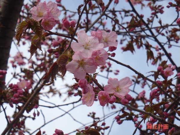 サクラ開花2
