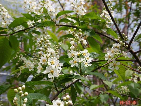 エゾノウワミズ花