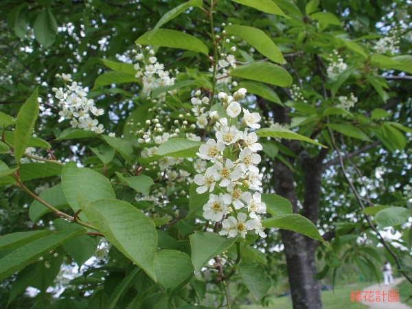 バージニア花