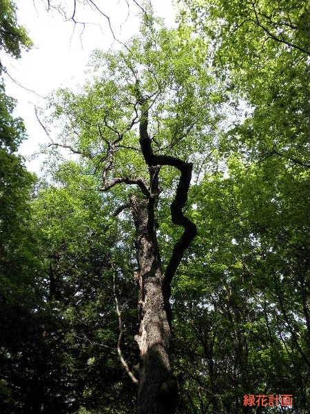 セロチナ樹