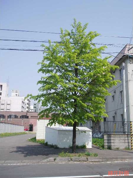 シナノキの画像 p1_32