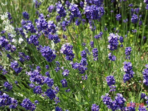 濃紫早咲き