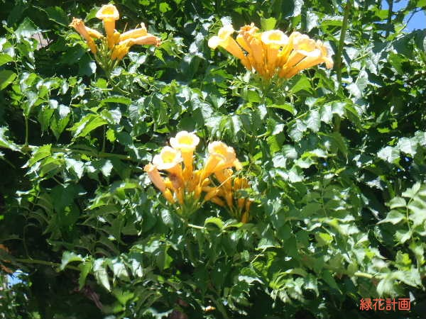 黄花アメリカノウゼン