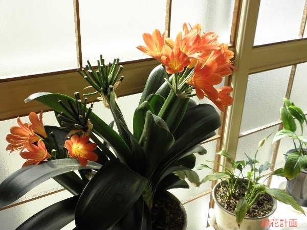 四季咲き性