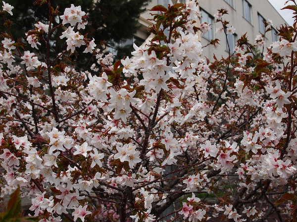 白っぽい花