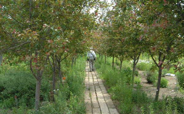 ヒメリンゴ並木