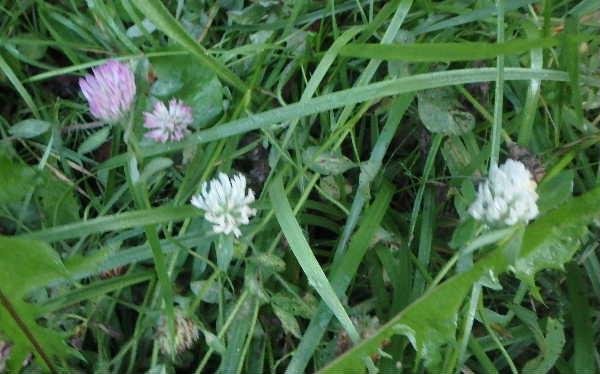 白花アカツメクサ