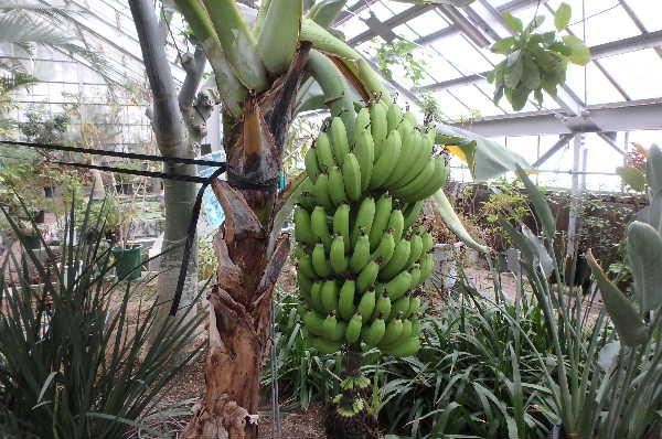 三尺バナナ