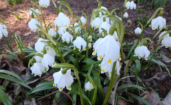 春咲きスノーフレーク