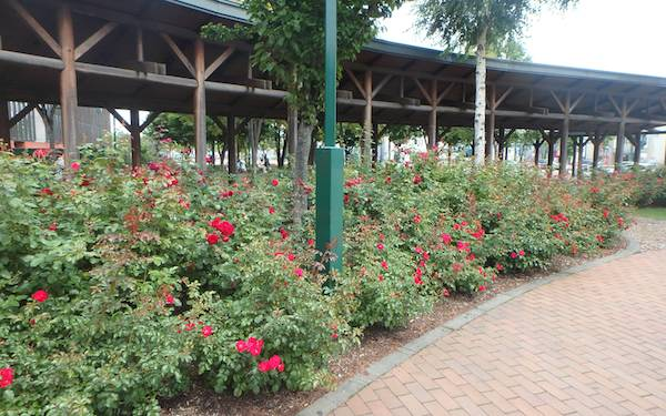 駅前のバラ