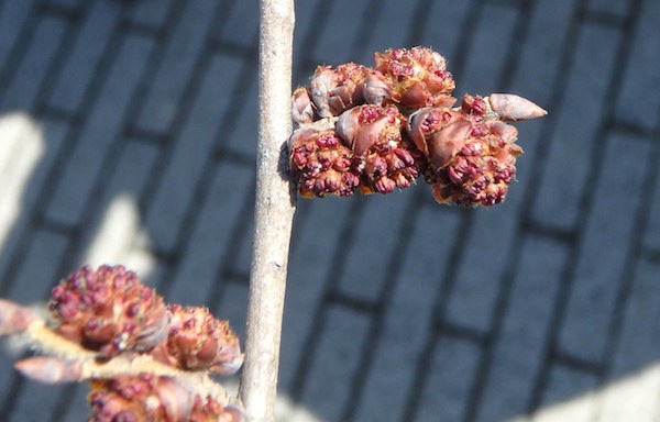 ハルニレの花