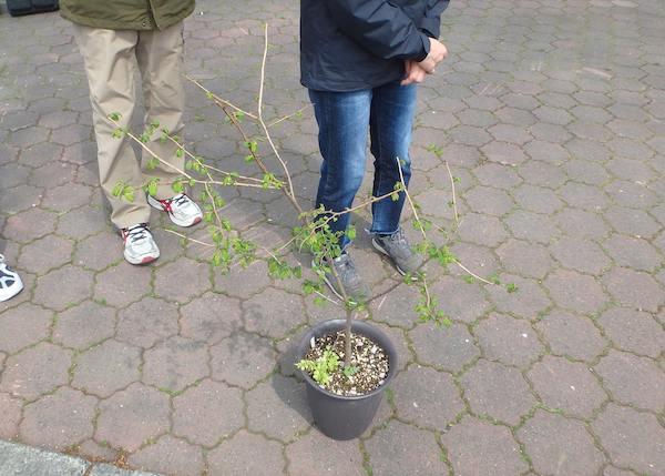 ハルニレの苗木