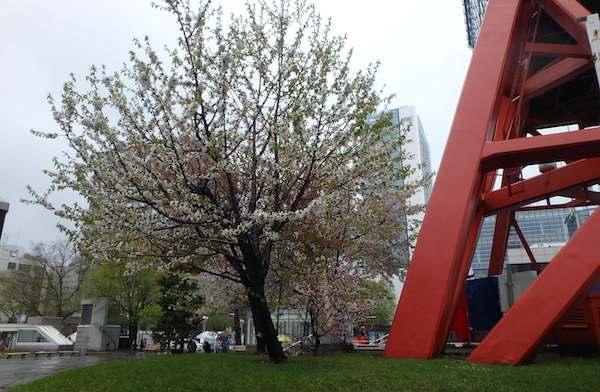 テレビ塔の桜