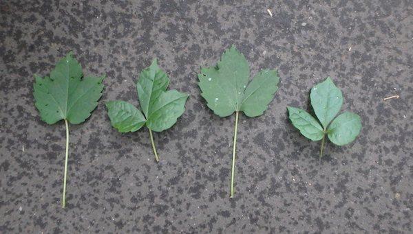 ナツヅタの葉