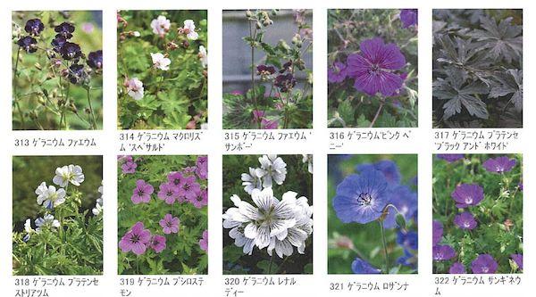 ゲラニウム花