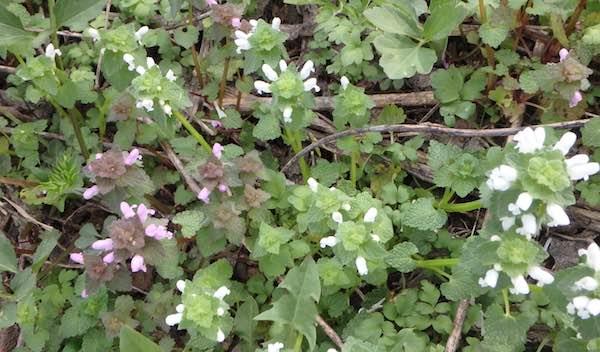 白花ヒメオドリコソウ