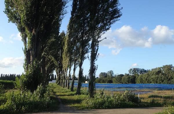 並木の再生