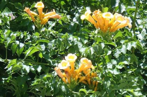 黄花アメリカノウゼンカヅラ